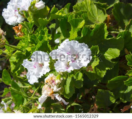 Pure white and pink double flowers of a decorative  pelargonium species  blooming throughout the year add  color to the  garden land scape in spring with ruffled blooms. #1565012329