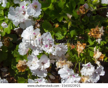 Pure white and pink double flowers of a decorative  pelargonium species  blooming throughout the year add  color to the  garden land scape in spring with ruffled blooms. #1565023921