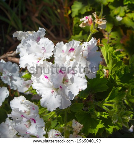 Pure white and pink double flowers of a decorative  pelargonium species  blooming throughout the year add  color to the  garden land scape in spring with ruffled blooms. #1565040199