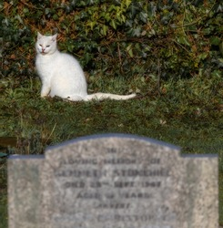 Pure white cat with one yellow and one blue eye in  a cemetery with headstone in foreground