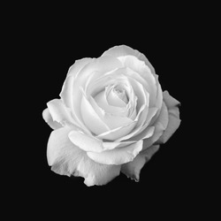 Pure White Rose Flower Black and White