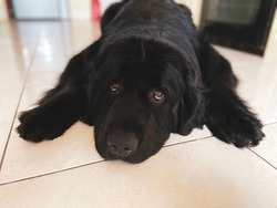 Purebread newfoundland black dog lies on the floor tiles looking straight at the camera