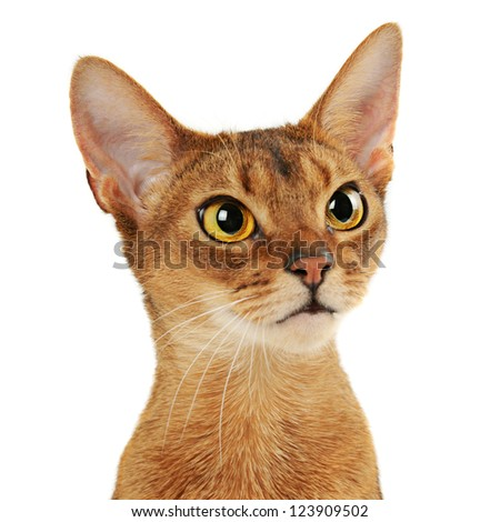 Purebred abyssinian young  cat portrait isolated on white