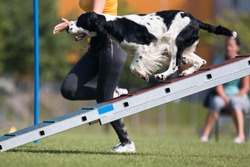 Purebred active black white English Springer Spaniel running dog agility course with full attention.Fast and furious  Springer Spaniel winner champion on outside agility competition on summer time