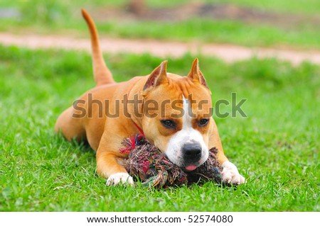 purebred american staffordshire terrier - stock photo