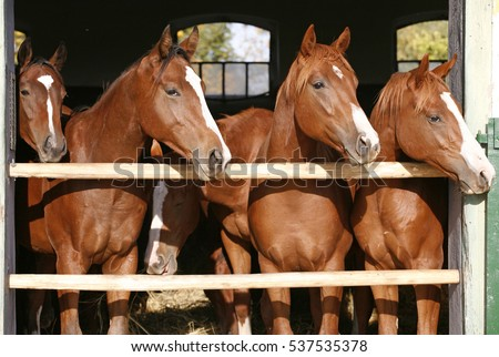 Purebred anglo-arabian chestnut horses standing at the barn door #537535378