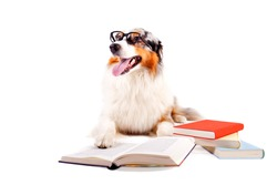 purebred Australian Shepherd with glasses and books against white background