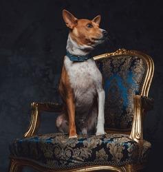 Purebred basenji canine animal sitting on luxurious armchair