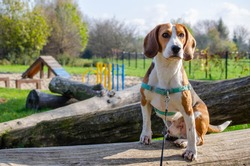 Purebred beagle posing on a camera. Portrait of a sitting dog. Dog in harness with long leash.