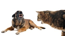 purebred belgian sheepdog malinois and cat angry in front of white background