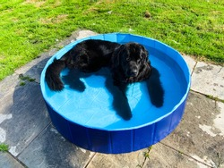 Purebred black newfoundland dog lies in a small swimming pool oustide