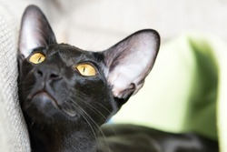 Purebred black oriental cat looking with yellow eyes