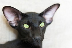Purebred black oriental cat with green eyes
