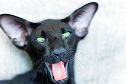 Purebred black oriental cat with green eyes yawning and smiling