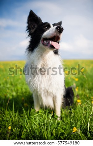 Purebred border collie dog with tongue out outdoors in the nature, smiling, sitting and waiting for agility on meadow with green grass and plenty of yellow blow balls on a summer day. #577549180