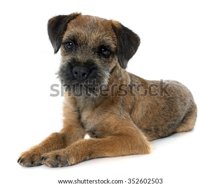purebred border terrier in front of white background #352602503