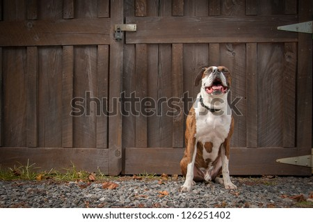Purebred boxer sitting in front of a barn door on a farm looking as if he were laughing