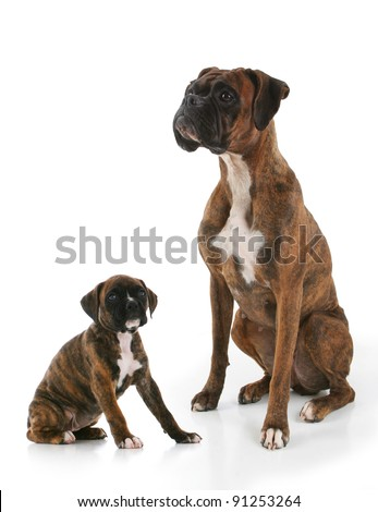 Purebred Brindle Boxer Adult and Puppy Dogs Facing Towards Eachother