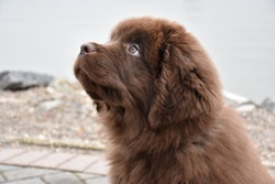 Purebred brown Newfoundland puppy dog gazing up.