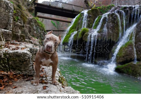 Purebred Canine Fawn American Bully Dog Standing on Front