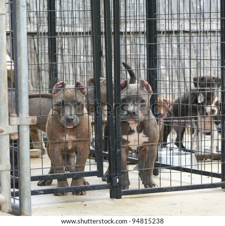 Purebred Canine Blue Nose American Bully Puppies in Kennel Looking at Camera