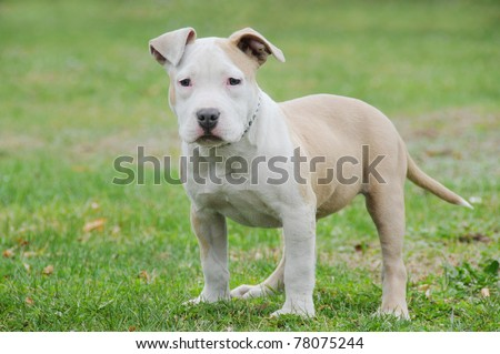 Boxer And Blue Nose Pitbull Mix Purebred canine blue nose