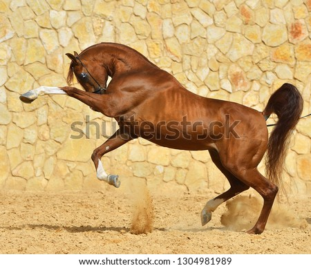 Purebred chestnut arabian stallion playing and rearing up beside a stone wall. Horizontal, side view, in motion.