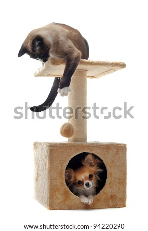 purebred chihuahua and siamese cat on a scratching post