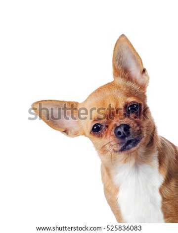purebred chihuahua dog isolated ...
