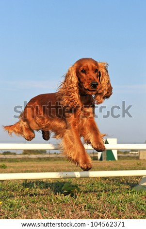 purebred cocker spaniel in a training of agility #104562371
