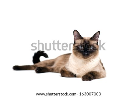 Purebred cute siamese cat lying studio shot #163007003