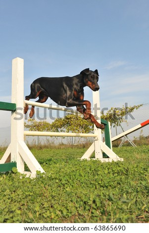 purebred doberman jumping in a training of agility