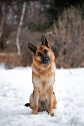 Purebred dog in snowy white snowdrifts. Beautiful adult German Shepherd of black and red color sits in snow against background of forest and looks carefully forward with his head tilted to side.
