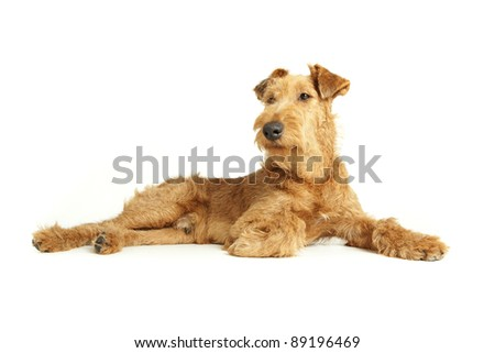 Purebred dog Irish Terrier having relax on a white background