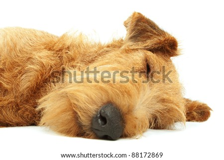 Purebred dog Irish Terrier lying and sleeping on a white background #88172869