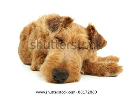 Purebred dog Irish Terrier lying on a white background
