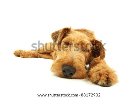 Purebred dog Irish Terrier sleeping on a white background