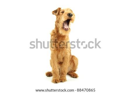 Purebred dog Irish Terrier yawning on white background