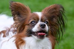 Purebred Dog Papillon portrait. Continental spaniel