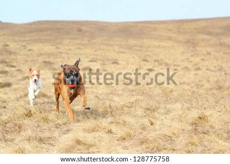 purebred dogs ( fox terrier and boxer ) playing with a ball #128775758