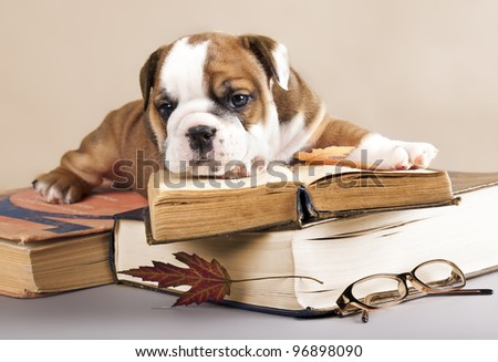 purebred english Bulldog puppy and book