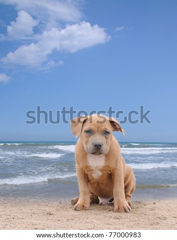 Purebred Fawn Canine American Bully Puppy Sitting on Sand at Beach