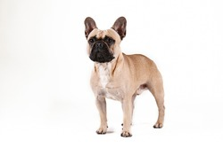 Purebred fawn french bulldog with black mask and white chest stain posing over isolated background. Studio shot of adorable small breed dog. Close up, copy space.