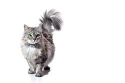 purebred fluffy striped gray cat with green eyes raised tail goes forward, feline animal isolated on a white background with a copy space.
