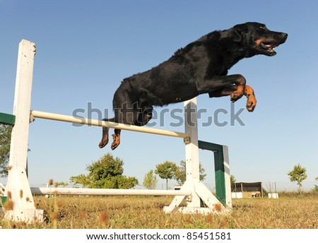 purebred french shepherd jumping  in a blue sky