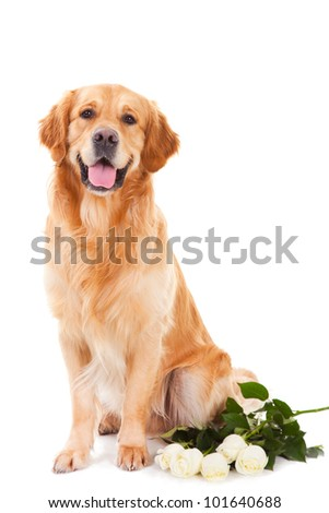 purebred golden retriever dog with white roses sitting on isolated  white background