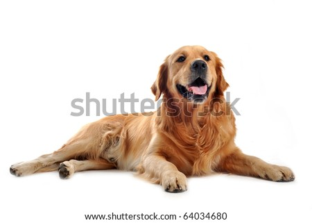 purebred golden retriever laid down in front of a white background