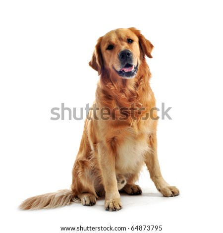 purebred golden retriever sitting in front of a white background #64873795