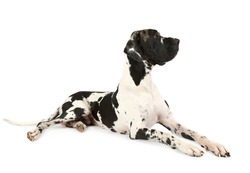 Purebred Great Dane dog lying on a white background