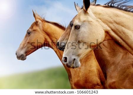 purebred horses closeup in field. small depth of field